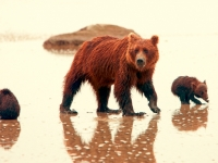 Braunbären (Grizzlies) am Silver Salmon Creek, Foto: TravelAlaska.com
