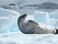 Krabbenfresser-Robbe (Foto: Crabeater Seal in Pléneau Bay, Antarctica von Liam Quinn via Flickr, Lizenz CC BY-SA 2.0)