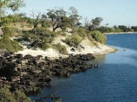 Büffelherde am Chobe River