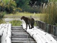 Leopard auf einer Brücke