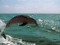 Atlantic Bottlenose Dolphin, Foto: VISIT FLORIDA