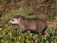 Tapir im Regenwald, Foto: Marco Zanferrari