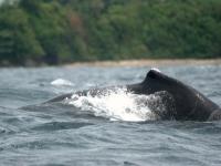 Buckelwal vor Kolumbiens Küste (Dorsal fin of a humpback whale III, Aztlek, flickr, CC BY-SA 2.0]