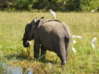 Cattle egret hitches a ride on young male elephant, Foto: David Davies (CC BY-SA 2.0, flickr)