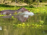 Hippo splashes into the Shire river, Foto: David Davies (CC BY-SA 2.0, flickr)