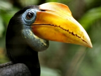 Hornbill, Phalinn Ooi [CC BY 2.0 flickr]
