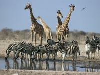 Tierleben am Wasserloch im Etosha Nationalpark, Foto: BoTG