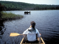 Elch-Beobachtung im Algonquin Provincal Park, Foto: Ontario Tourism Marketing Partnership Corporation