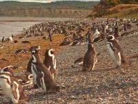 Pinguins-de-magalhães, Danielle Pereira [CC BY 2.0, flickr]