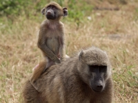 A Mother & Baby Baboon, Grant Peters [CC BY 2.0, flickr]