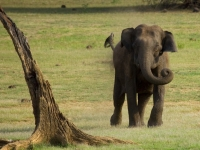 Charging Elephant @ Kabini Forest, Vinoth Chandar [CC BY 2.0, flickr]