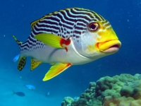 Diagonally Banded Sweetlips, Marc Füeg [CC BY-ND 2.0, flickr]