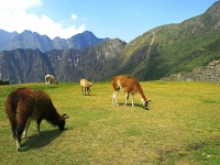 Grazing in the Heaven (Machu Picchu), Valdiney Pimenta (CC BY) http://www.flickr.com/photos/13061113@N05/1353124380/