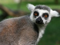 Madagascar Lemuren Close Up, Foto:  Robert Spiegel [CC BY-SA 2.0, flickr]