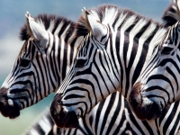 Zebras, Foto: Best of Travel Group