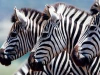 Zebras, Foto: Best of Travel Group