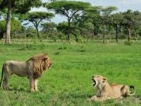 Katawi Nationalpark, Löwen zur Regenzeit, Foto: Outback Africa
