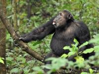 Mahale: Schimpanse, Foto: Outback Africa