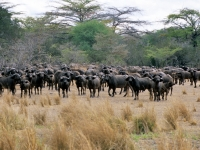 Selous, Wildreservat Büffel, Foto: Outback Africa