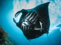 Oceanic manta ray in Raja Ampat, Martin