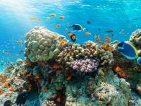 Farbenfrohes Korallenriff mit tropischen Fischen im Indischen Ozean, Malediven, moofushi
