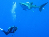 The Whaleshark Collection at Daedalus Reef, Red Sea, Derek Keats [CC BY 2.0, flickr]