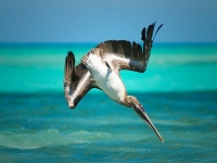 Pelikan im Sturzflug [getting wet, Renzo Borgatti, CC BY-SA 2.0, flickr]