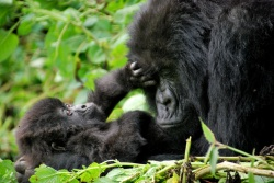 Gorilla-Mutter mit Nachwuchs  (Bild: Mother and baby, Carine06, CC BY-SA)
