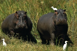 Hippos auf Futtersuche  (Bild: Best of Travel Group)