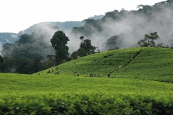 Teeplantage in Ruanda  (Bild: Best of Travel Group)